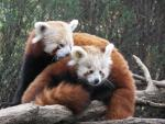 Beautiful Mommy and Baby Red Pandas animaux provenant de Panda rouge