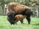 American Buffalo Mother and Just-Born Calf animaux provenant de Bison