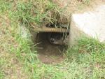 Groundhog Hides In Hole Underneath Concrete Reinforcing Bar animaux provenant de Marmotte