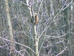 Wide Shot Of Scared Groundhog In Leafless Tree animaux provenant de Marmotte