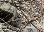 Cautious Groundhog Pokes Head Out From Inside Concrete Block Lair animaux provenant de Marmotte
