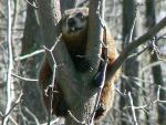 Groundhog With Protuding Front Teeth Photographer High In Tree With Zoom Lens animaux provenant de Marmotte