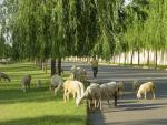 Sheep Mow Lawns on Elaborate Grounds in China animaux provenant de Mouton