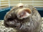 Pet Chinchilla In Typical Pet Chinchilla Habitat animaux provenant de Chinchilla