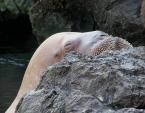 Closed-Eyes Light Colored Walrus Seen Over Rock animaux provenant de Morse