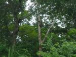 Wide Shot of Sloth in Forked Tropical Tree With Mottled Bark animaux provenant de Paresseux