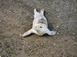 Cute White Baby Seal On Rocky Beach animaux provenant de Phoque