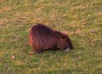 Brown Coypu On Lawn Cranes Neck To Examine Grass, Cool White Whiskers! animaux provenant de Ragondin