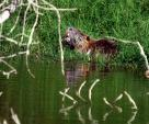 Nutria On Edge Of Creek Opens Mouth Wide And Shows Striking Orange Teerh animaux provenant de Ragondin
