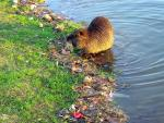 Coypu Emerges From Pond With Rim of Leafs And Other Debris On Edge animaux provenant de Ragondin
