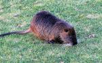 Alert And Wet Coypu Crouches Close To Closely Cropped Lawn, Has Cool Front Paws animaux provenant de Ragondin