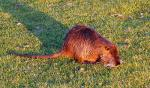 Isreal: Wet Coypu Casts Long Shadow On Closely Cropped Lawn animaux provenant de Ragondin
