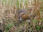 East Germany: Picture Of Nutria In Tall And Partially Dried Grass animaux provenant de Ragondin