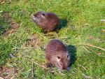 Pair Of Brown Nutrias Look Away From One Another On Thin Green Lawn animaux provenant de Ragondin