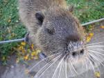 Nutria With White Whiskers And Intense Expression Climbs Over Cable To Inspect Photographer animaux provenant de Ragondin