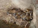 Large And Incredibly Cute Family Of Nutria In Louisiana Zoo animaux provenant de Ragondin