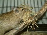 Degu Carries Straw Bedding In Mouth And Walks Up Stick animaux provenant de Octodon