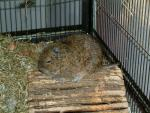 Calm Degu With Varigated Coat Seen From Side animaux provenant de Octodon