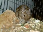 Degu On Edge Of Plywood Eats Little Bits Of Food animaux provenant de Octodon