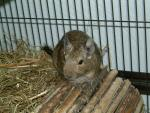 Mouse-Like Degu Stands On Top Of Tunnel Of Sticks Near Straw In Cage animaux provenant de Octodon