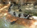 A Colony Of About Fifteen Beavers In Run-Down Spanish Zoo Exhibit animaux provenant de Castor