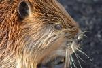 Close-Up Of Wet Beaver Face — Cool Ears and Whiskers! animaux de                   Achraf29 provenant de Castor