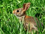 Nice Picture of Wild Bunny With Big Eyes, Small Ears in Grass animaux provenant de Lapin