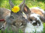 Two Rabbits, One With Dandilion, COzy Together animaux provenant de Lapin