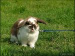 Brown and White Rabbit on Blue Leash on Lawn animaux de                   Cala69 provenant de Lapin