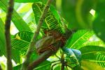 Aaaaaw! Diminuitive Tarsier Holds Tight To Tree With Large Yellow And Green Leaves animaux provenant de Tarsius