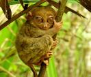 Square Framed Photo Of Phillipine Tarsier Looking Slightly Down animaux provenant de Tarsius