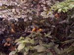 Wide Shot of Golden Lion Tamarins Seen Through Indoor Rainforest Canopy animaux provenant de Tamarin