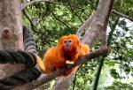 Golden Lion Tamarin Hugs  Branch, Has Dreamy Expression animaux provenant de Tamarin