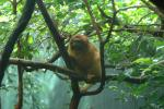 Golden Lion Tamarin Perched in Tree Fork Under Leaves animaux provenant de Tamarin