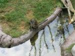 Swamp Monkey WIth Extended Long Tail By Water Feature in Zoo Enclosure animaux provenant de Singe Swamp