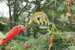Yellow Squirrel Monkey Crosses Tightrope With Arched Back, Tail Down animaux provenant de Singe Squirrel