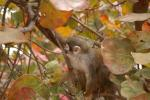 Little Monkey in Tree With Fall Colored Round Leaves animaux provenant de Singe Squirrel