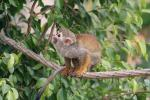 Squirrel Monkey With Open Mouth Balances On Cable animaux provenant de Singe Squirrel