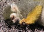 Awww… Sleeping Squirrel Monkey Takes a Nap animaux provenant de Singe Squirrel