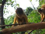 Unbearably Cute Little Monkey With Friend in Amazon Canopy animaux provenant de Singe Squirrel