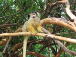 Bolivia: Wild Squirrel Monkey Looks Down From Vine-Covered Branches animaux provenant de Singe Squirrel