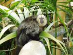White-Face Saki Monkey in Swedish Zoo Looks Sideways At Camera animaux provenant de Singe Saki