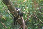 Male White-Faced Saki Drapes Himself on Diagonal Pole in Zoo Enclosure animaux provenant de Singe Saki