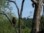 Proboscis Monkey, Back To Camera, Looks Into Malaysian Rainforest animaux provenant de Singe Proboscis