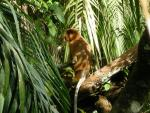 Proboscis Monkey In Lush Green Vegetation Looks To Side animaux provenant de Singe Proboscis