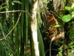 Very Saturated Image of Proboscis Monkey In Rainforest Midstory animaux provenant de Singe Proboscis
