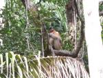 Distant Proboscis Monkey Sits On Horizontal Tree Branch With Palm In Foreground animaux provenant de Singe Proboscis