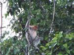 Somewhat Grainy Image Of Proboscis Monkey With Open Mouth animaux provenant de Singe Proboscis