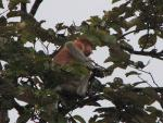 Proboscis Monkey High In Tree Looks Sideways animaux provenant de Singe Proboscis