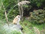 Fluffy and Rotund Patas Monkey On Rock with Companion Hiding Behind Bush animaux provenant de Singe Patas